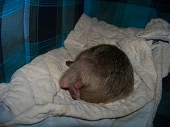 Sleeping baby tamandua