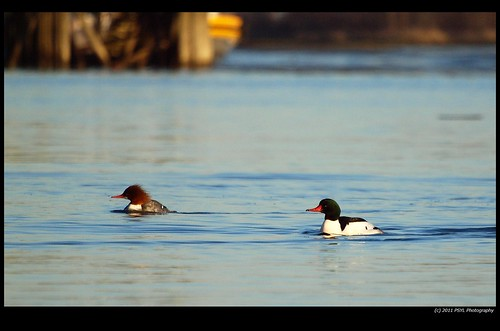 Common Mergansers (Mergus merganser)