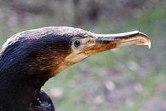 Cormorant at TACT, Crumlin, N Ireland (joysmith7mr) Tags: wildlife northernireland cormorant tact crumlin