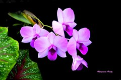 Orqudeas/Orchids (Altagracia Aristy) Tags: amrica orchids dominicanrepublic tropic caribbean orqudeas republicadominicana antilles laromana caribe trpico antillas quisqueya altagraciaaristy fujifilmfinepixhs10 fujihs10 fujifinepixhs10 caraib carabi