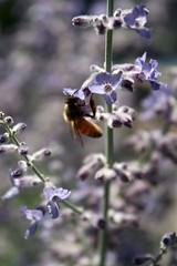 Wildflower with Insect (Read2me) Tags: flower purple bee dof bokeh she cye pregamewinner thechallengefactory gamewinner friendlychallenges