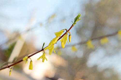 forsythia-in-bloom