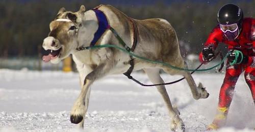 Moose race