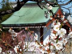 Kameido Tenjin Plum Blossom Festival (Rekishi no Tabi) Tags: japan tokyo  shinto edo plumblossoms  kotoku  umeblossoms  shintoshrines kameidotenjinshrine