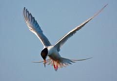 Hovering Tern (MurrayH77) Tags: bird wildlife nj 1001nights brigantine forsythe nwr 1001nightsmagiccity