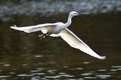 Little Egret (Egretta garzetta) (Keith in Southampton) Tags: uk lake bird heron water birds flying pond little aerial solent southampton egret