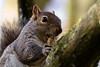 I Love Peanuts [Explored] (Aspiriini) Tags: england london squirrel peanut orava lontoo greysquirrel sciuruscarolinensis easterngraysquirrel pähkinä canonef70200mmf40lisusm jonilehto aspiriini