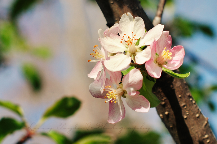 Cluster of Apple Blossoms