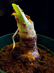 2011-03-11 New Life (Mary Wardell) Tags: life plant bulb canon project growth amaryllis 365 g11