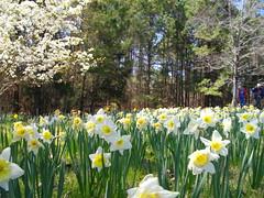 Daffodils, Grace Hill