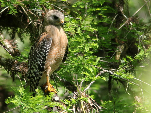 Red-shouldered Hawk 3-20110313