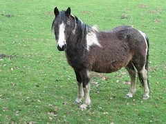 Horses/ponies/donkeys at the Gwaun Valley (joysaphine) Tags: winter horses wales geotagged flickr donkeys joy ponies pembrokeshire mycountry gwaunvalley preselis february2011 joysaphine winter20102011 horsesponiesdonkeysatthegwaunvalley homeandgwaunvalley peregrino27life
