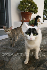 GreekSTRAYS - Ermioni Cats: Iphi (ermioni.info) Tags: charity travel vacation cats pets holiday animals canon greek eos town village traditional kittens tourist photographic greece historical cultural hermione feral welfare neutered peloponnese argolida ermioni unspoilt