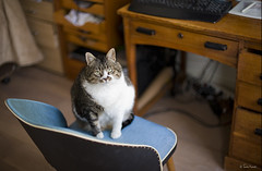 occupied (moggierocket) Tags: cat chair kat chat gato round neko katze gazing kedi voluptuous thelittledoglaughed sheknowsthat thatsmyworkchair