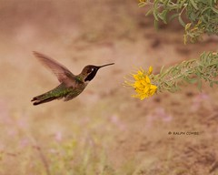 Flying low (Ralph Combs) Tags: california birds yellow fauna spring hummingbird textures wetlands wildflowers huntingtonbeach bolsachica costashummingbird
