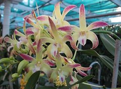 Den Awsome 'Tuyet' (Tuyetsorchids) Tags: orchid awsome lan dendrobium hybrid hoa tuyet