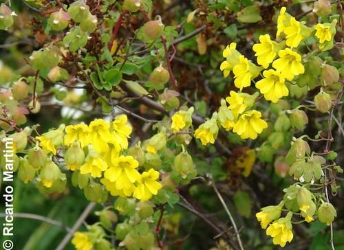 Planta de malla <i>Tropaeolum brachyceras</i> con detalles de botones florales, flores abiertas y frutos en formación, captada en Los Molles, región de Valparaíso.