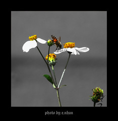 bee and flowers (e.nhan) Tags: flowers light flower art nature closeup daisies landscape colours dof bokeh arts bee backlighting enhan