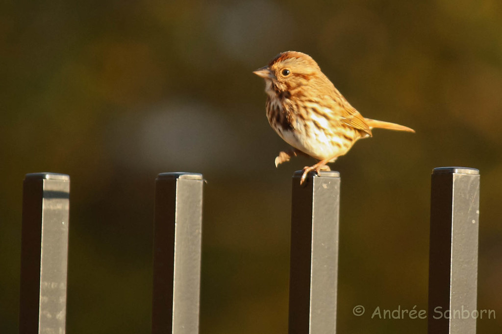 Song Sparrow (Melospiza melodia) (maybe)-13.jpg