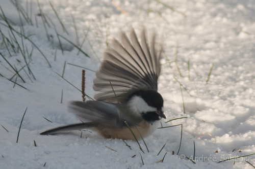 Black-capped chickadee -20.jpg