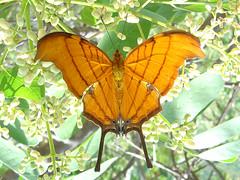 Marpesia petreus (Lepsibu) Tags: mexico lepidoptera nymphalidae marpesiapetreus cyrestinae