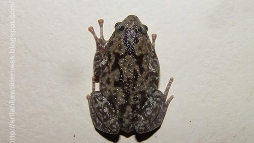 Termite Nest Frog/Ramanella variegata