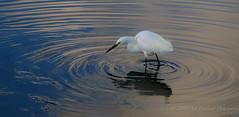 Snowy Egret ripples (Gitart) Tags: blue sky white bird nature water ripple ripples egret stalk stalking snowyegret