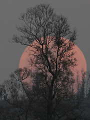 Here comes the Superm(oo)n (Abhishek.Patel) Tags: park moon set canon natural super national moonrise dang frame abhishek patel moonset gujarat surat 500d supermoon vansda moonsetbehindtrees moonsetinmountain