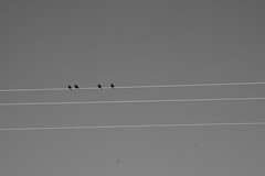 lines birds wire birdsonawire dailyshoot ds498