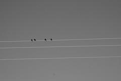 lines birds wire birdsonawire dailyshoot ds498