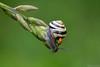 Just One Little Kiss (Vie Lipowski) Tags: flower nature bug insect wildlife snail ladybird ladybug hosta ladybeetle giboshi detritivore