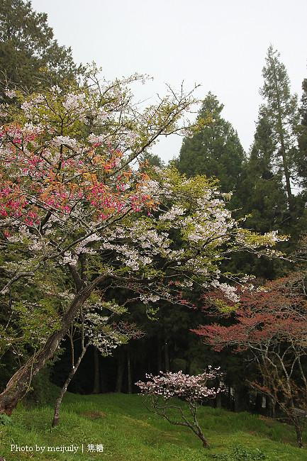 阿里山櫻花季陰天版25