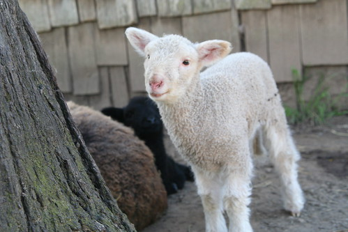 School's Baby Lambs: Milkshake