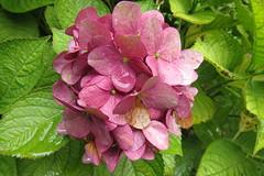 Hydrangea (hattyu) Tags: 2016 hydrangea hortenzia virg flower