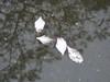 鳳凰木倒影和羊蹄甲落葉落花 (judie35) Tags: tree 木棉 水珠滾滾 雨天