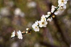梅開雙十 - Plum Blossoms - Taichung City municipal Shuang-Shih Junior High School (prince470701) Tags: taiwan plumblossoms 梅花 sigma70300mm sonya850 台中市雙十國中 taichungcitymunicipalshuangshihjuniorhighschool