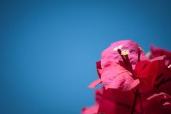 Blue & Pink (Ed O_o) Tags: pink blue sky flower macro floral garden petals nikon skies dof bluesky bougainvillea shallowdof d60 18200mm nikond60