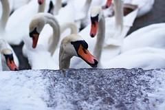 * (Gwenal Piaser) Tags: bird 35mm canon eos december swans canoneos cygne metz oiseaux 2010 35mmf14 50d 35l canonef35mmf14lusm eos50d canoneos50d ef35mmf14lusm unlimitedphotos gwenaelpiaser
