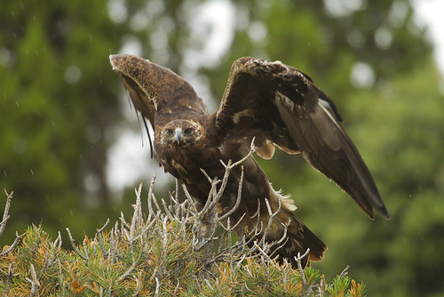 Golden Eagle-8.jpg