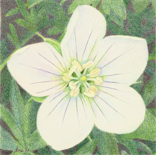 Cranesbill, colored pencil
