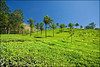 Tea Valley of Munnar, Kerala (Souvik_Prometure) Tags: india tea kerala teagarden teaplantation southindia westernghats munnar photopoint sigma1020mm idukki flickrsbest abigfave anawesomeshot nikond90 ultimateshot flickrdiamond westernghatsindia souvikbhattacharya munnarphotopoint