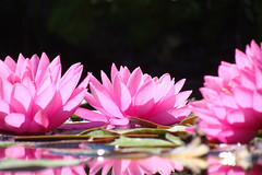 Water lilies #1 (Home Land & Sea) Tags: pink flowers newzealand macro reflection waterlilies nz napier pointshoot sonycybershot hawkesbay lilypond simplyflowers clivesquare dsch3 homelandsea