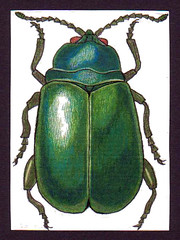 ATC 44 (Made by BeaG) Tags: blue green art animal atc artisttradingcard pencil ink bug groen blauw belgium drawing kunst fineart belgi insects bugs drawn dier kunstenaar insecten handdrawn kever inkt colouredpencils tekenen potlood beag kleurpotloden kevers getekend animaldrawing kunstenares handgetekend handdrawnatc designedandmadebybeag ontworpenengemaaktdoorbeag drawnbybeag getekenddoorbeag handgetekendeatc tekeningvaneendier atc44 beagatc44