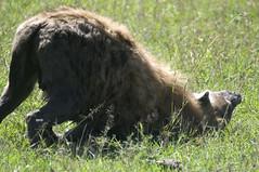 Hyena 011 (joannehedger) Tags: africa kenya hyena masaimara crocutacrocuta spottedhyena kicheche joannehedger httpjoannehedgerblogspotcouk