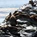 Lobos marinos de un pelo nell'Isla de los lobos - Canale di Beagle