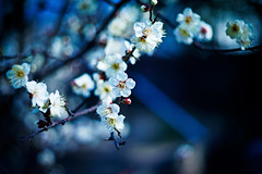 little whispers of joy (moaan) Tags: life leica digital 50mm dof blossom bokeh dr summicron utata february ume m9 latewinter waitingforspring japaneseapricot f20 2011 inlife leicasummicron50mmf20dr comeintoblossom leicam9 gettyimagesjapanq1 gettyimagesjapanq2