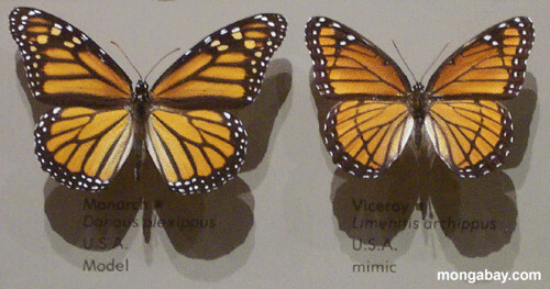 butterfly_mimics