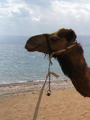 camel portrait, Aqaba beach, Jordan (Kristel Van Loock) Tags: beach redsea jordan camel spiaggia aqaba jordania chameau camelride kameel giordania