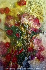 frozenLove029 (Edwin Loyola) Tags: flowers love ice rose frozen abstraction edwinloyola frozenlove
