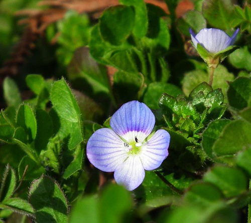 a Persian speedwell 犬ふぐり
